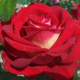 Роза Биколетте (Bicolette)