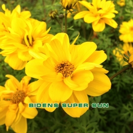 Биденс (череда ферулелистная)