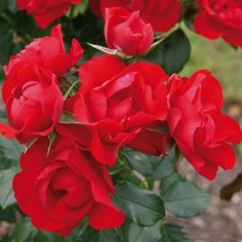 Роза Блэк Форест Роуз (Black Forest Rose)