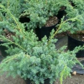 Можжевельник китайский Блу Альпс( Juniperus chinensis Blue Alps) С 10 л