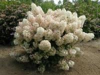 Гортензия метельчатая Bobo(Hydrangea paniculata Bobo)