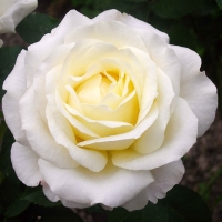 Роза Шопен ( Chopin)