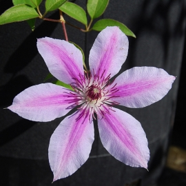 Клематис крупноцветковый Нелли Мозер (Nelly Moser)
