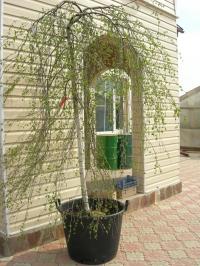 Береза декоративная  Юнги (Betula pendula Youngii) С 20 л ( шт 180-200 см)