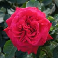 Роза Дам де Кер ( Dame de Couer)