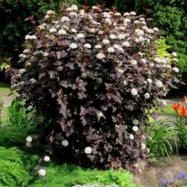 Пузыреплодник калинолистный Диабле Дор (Physocarpus opulifolius Diable D'Or) с 2 л ( 60-70 см)