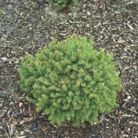 Ель канадская Эхиниформис (Picea glauca Echiniformis) с 1л (5-10 см) см