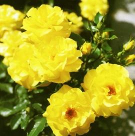 Роза Фрезия (Friesia )