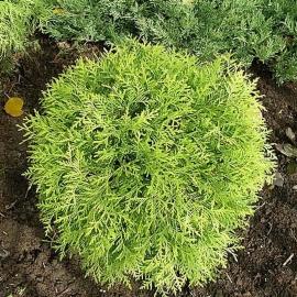 Туя западная Глобоза Аурея(Globosa Aurea) С 10л (60-70 см)
