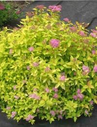 Спирея японская Голден Принцесс (Spiraea japonica Golden Princess)