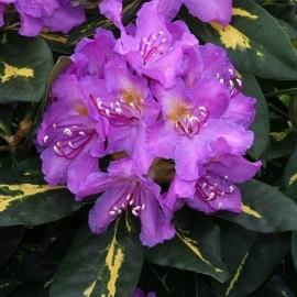 Рододендрон Голдфлиммер ( Rhododendron Goldflimmer) С 4 л (25-30 см)