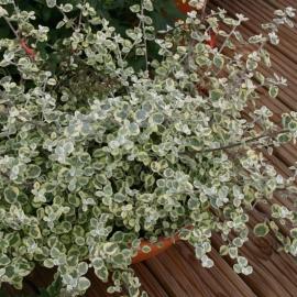 Гелихризум (бессмертник черешковый)(Helichrysum lan variegata)