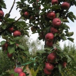 Яблоня колоновидная Червонец (ОКС)