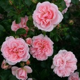 Роза Хоум энд Гарден (Home & Garden)