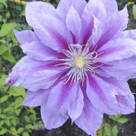 Клематис крупноцветковый Регемаффин ( Ragamuffin)