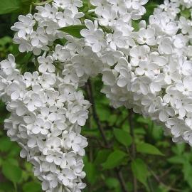 Сирень обыкновенная Лебёдушка (Syringa vulgaris Lebioduszka)