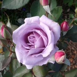 Роза Майнцер Фастнахт (Mainzer Fastnacht )
