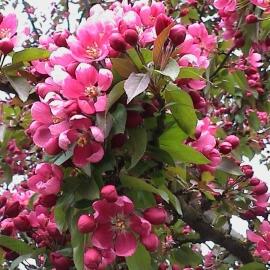 Яблоня Лизет (Malus Liset) С 15 л (175-200 см)