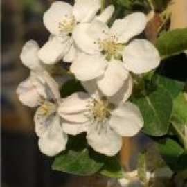 Яблоня Еллоу Сибериан (Malus Yellow Siberian) С 15 л (200-250 см)