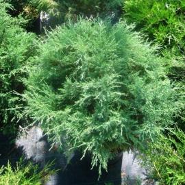 Можжевельник казацкий Мас (Juniperus Sabina Mas) С 10 (80-100 см)