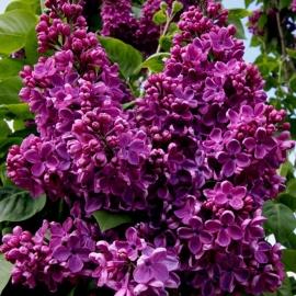 Сирень обыкновенная  Массена (Syringa vulgaris Massena)