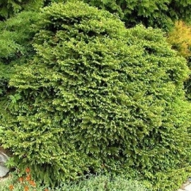Ель обыкновенная Максвеллии (Picea abies Maxwellii) С 10 л (40-50 см)