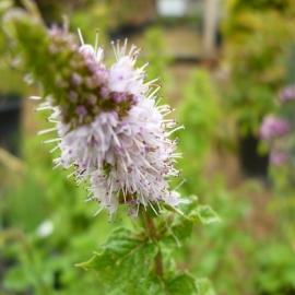 Мята колосковая Марроканская (Mentha spicata Moroccan)