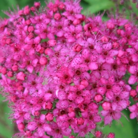Спирея японская Неон Флеш (Spiraea japonica Neon Flash) С 2 л (20-25 см)