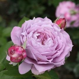 Роза Новалис ( Novalis)