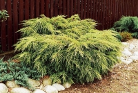 Можжевельник средний Олд Голд (Juniperus x pfitzeriana Old Gold) С 7,5 л (40-50 см)