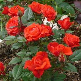 Роза Оранж Бэби (Orange Baby)
