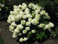 Гортензия метельчатая Фантом (Hydrangea paniculata Phantom)