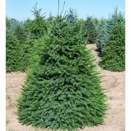 Ель сербская (Picea Omorika) С 10 л (80-100 см)