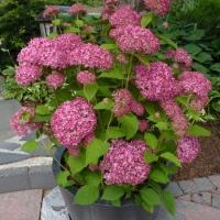 Гортензия древовидная Пинк Аннабель (Hydrangea arborescens Pink Annabelle)