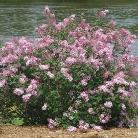 Сирень обыкновенная Пинк Парфюм (Syringa vulgaris Pink Perfume)