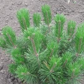 Сосна горная (Pinus mugo) С 7,5 л (40-50 см)