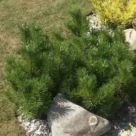 Сосна горная Мугус (Pinus mugo Mughus)С 7,5 л (40-50 см)