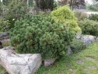 Сосна горная Пумилио (Pinus mugo Pumilio) С 7,5 л (30-40 см)