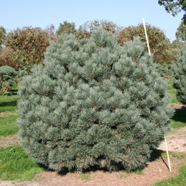 Сосна обыкновенная Ватерери (Pinus sylvestris Watereri) С 12 л (40-50 см)