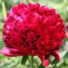 Пион Ред Грейс (RED GRACE)