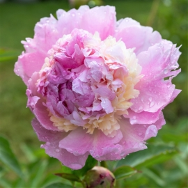 Пион Респберри Сандае( Raspberry Sundae)