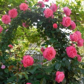 Роза плетистая Розанна (Rosanna)