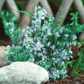 Розмарин лекарственный Блу Винтер (Rosmarinus officinalis Blue Winter)
