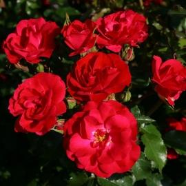 Роза Ротилиа (Rotilia)