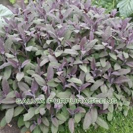 Шалфей (Salvia Purpurascens)
