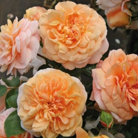 Роза Зангерхаузер Юбиляумрозе (Sangerhauser Jubilaumrose)