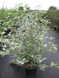 Дёрен белый Сибирика Вариегата (Cornus alba Sibirica Variegata) С 10 л (80-100 см)