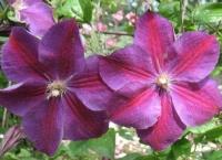 Клематис крупноцветковый Стар оф Индия (Star of India)