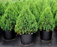 Можжевельник китайский Стрикта (Juniperus chinensis Stricta)