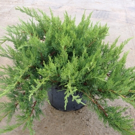 Можжевельник казацкий Тамарисцифолия (Juniperus sabina Tamariscifolia) с 15 л (60-70 см)